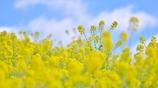 「陽春の菜の花畑」