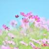 小春日和のコスモス畑