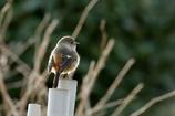 庭に来る鳥たち(ジョビコ)
