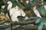 庭に来る鳥たち(ウグイス)