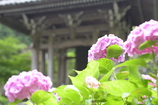 洞慶院2(紫陽花)