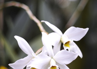 SIGMA SIGMA SD1 Merrillで撮影した(白い蘭)の写真(画像)