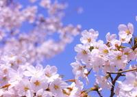 SIGMA SIGMA SD1 Merrillで撮影した(心の中の春)の写真(画像)