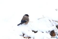雪中捕食 1