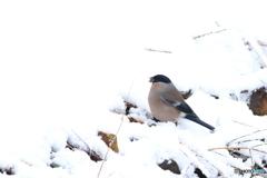 雪中捕食 2