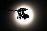 おぼろの桜