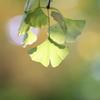 『外苑銀杏並木2』