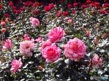 押し寄せる薔薇の波の如く