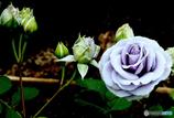 青薔薇が、一輪そこに