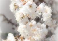 OLYMPUS E-P5で撮影した(sakura)の写真(画像)