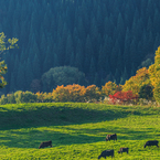 杉と紅葉と牛達と