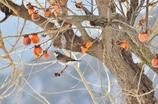 冬柿とツグミ