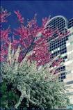 花桃と雪柳咲く街