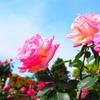 薔薇と青空♪