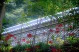 彼岸花の咲く・・・