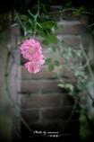 蔓薔薇に・・・・