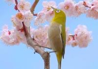 FUJIFILM X-T1で撮影した(メジロと梅の花)の写真(画像)