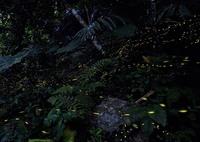 NIKON NIKON D600で撮影した(八重山蛍)の写真(画像)