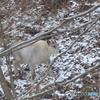 雪のように白いカモシカ