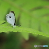 星を冠した可憐な蝶