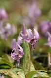 かたくりの花1