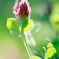 HANA・HANA 111 (Crimson clover)