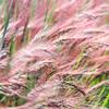 風に吹かれて赤い米