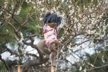 梅咲く庭園で猿まわし