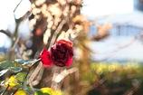 咆哮する錆びた薔薇
