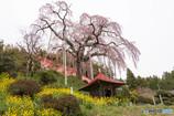 大聖寺の枝垂れ桜