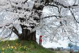 人待ち地蔵桜 Ⅱ