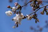 桜 ソメイヨシノ 1