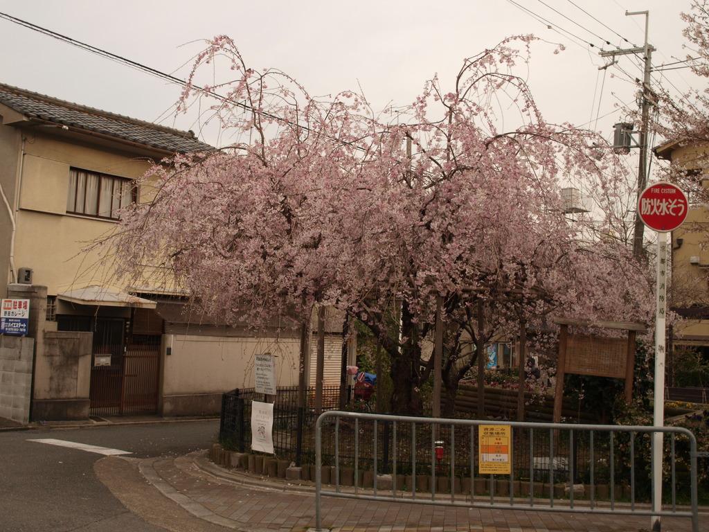 どこぞの桜