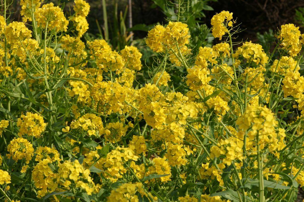 広島の菜の花