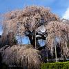 慈雲寺のしだれ桜