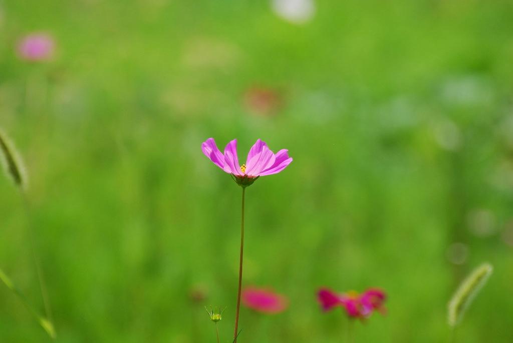 花一輪 秋桜