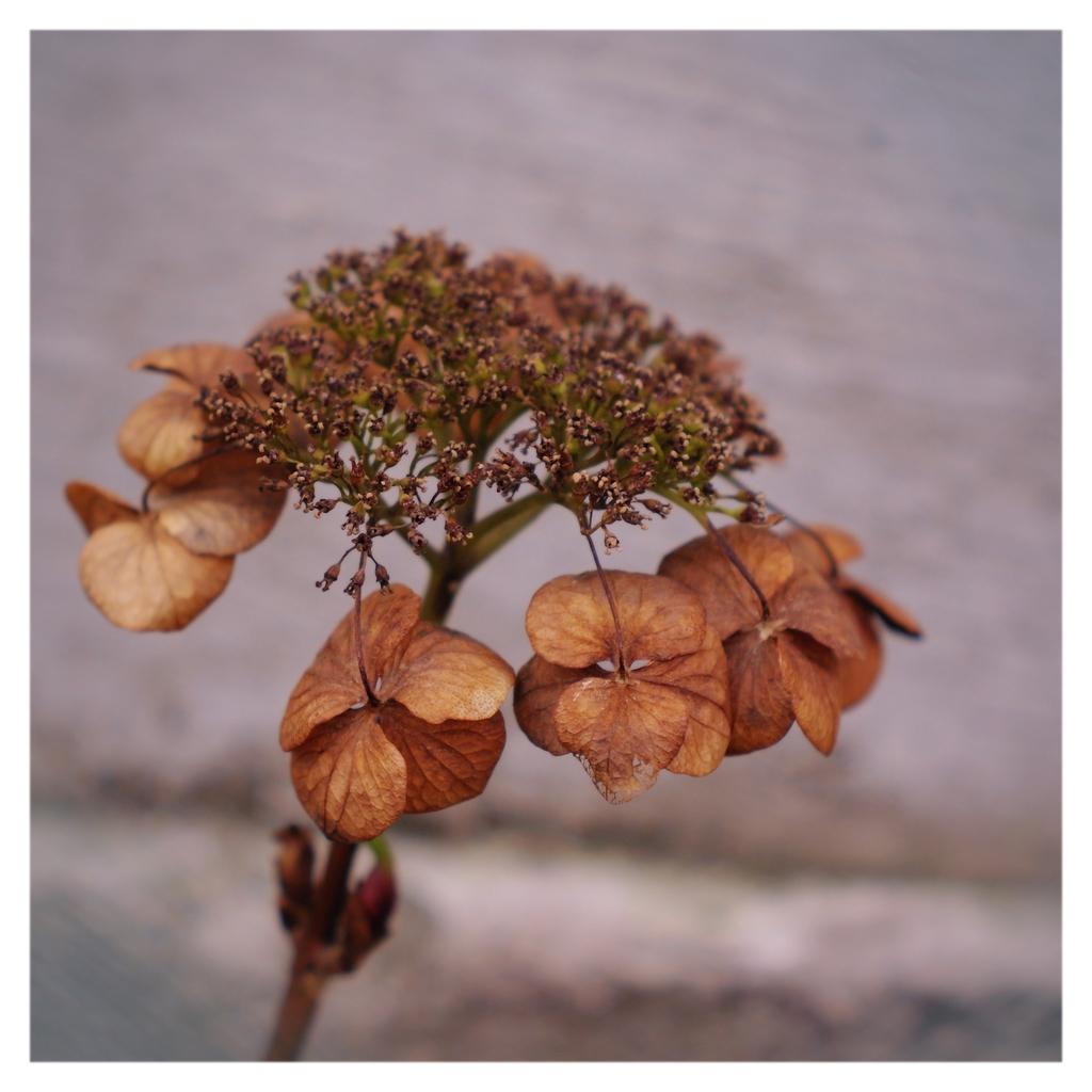 立ち枯れしきった額紫陽花