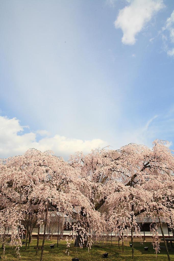 醍醐寺枝垂桜
