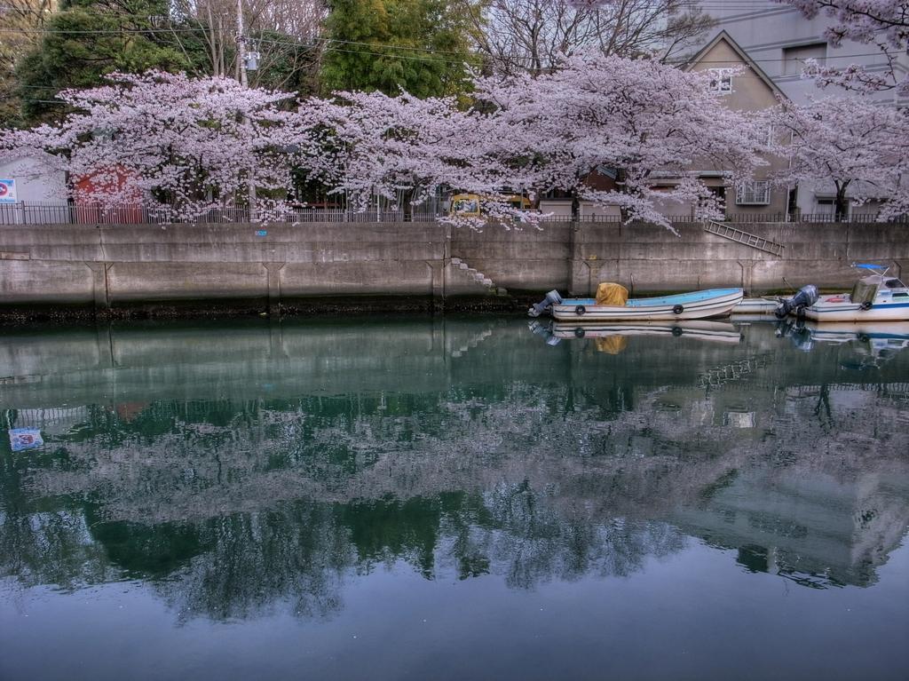 大岡川の桜-2 HDR