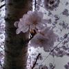 大岡川の桜-4 HDR