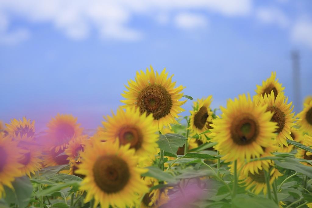 明野の向日葵
