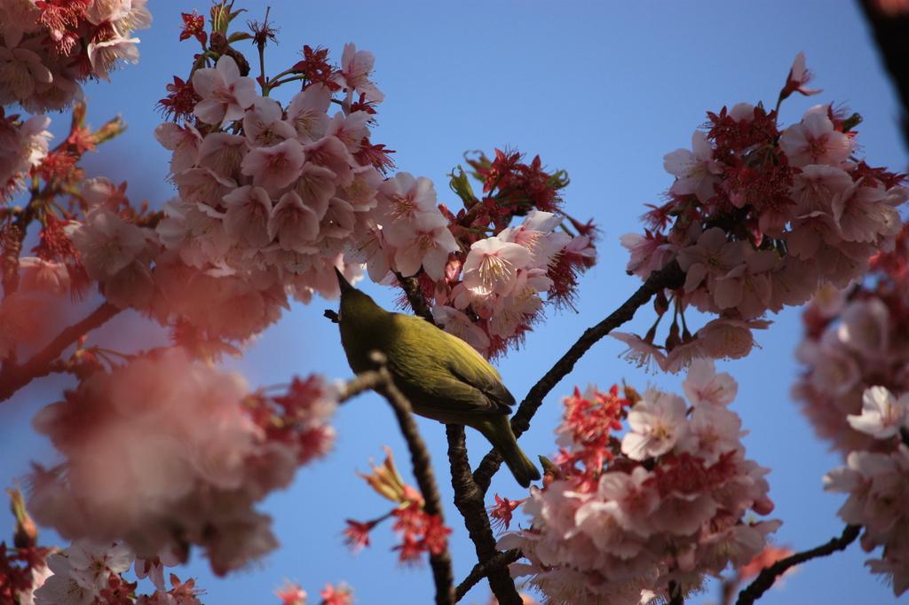 寒桜 と メジロ