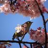 寒桜 と メジロ  Ⅳ