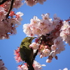 寒桜 と メジロ Ⅱ