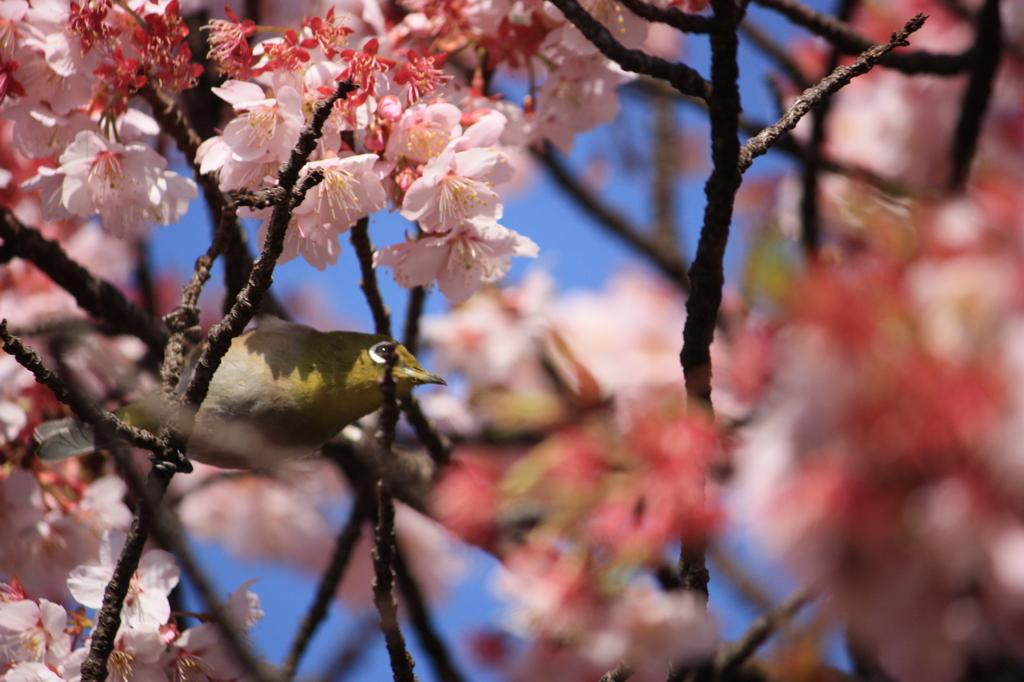寒桜 と メジロ Ⅲ