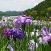 2012加茂花菖蒲園 028