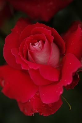 薔薇の回廊 12