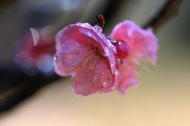 梅と水玉 1