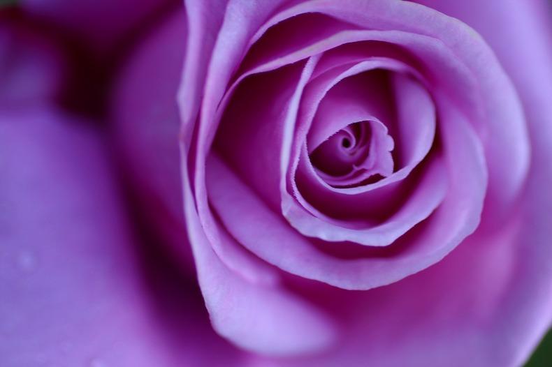 夢みる薔薇   (3)