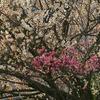 白梅の木に紅梅が